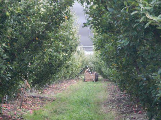 アップル収穫済み