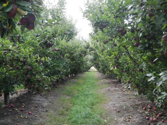 アップル収穫前