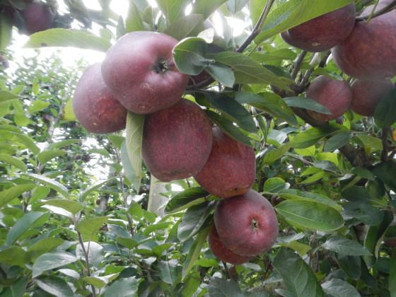 収穫予定のアップル