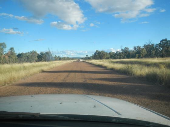 カナナラへの道の途中の牛